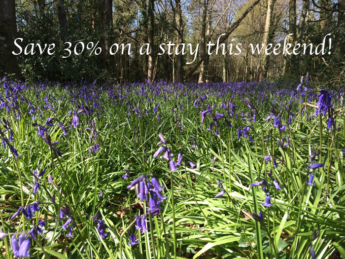 bluebells at the Yurt Retreat