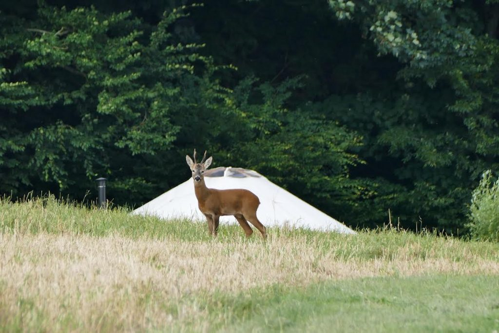 Deer, Stag, Yurt, Yurt Retreat